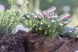 Bruyère d'hiver plantée dans une bassine en zinc