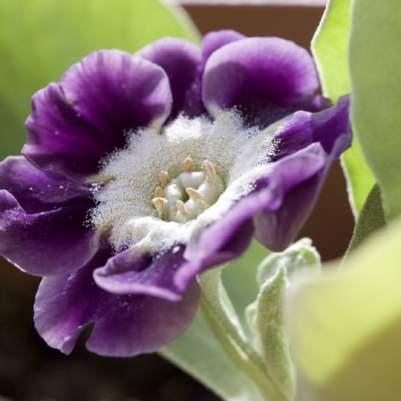 Fleur d'auricule de jardin