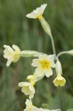 Primevères des sous-bois ou primula elatior