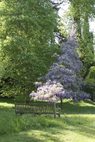 Quand la glycine devient un arbre dans la Vallée-aux-Loups.