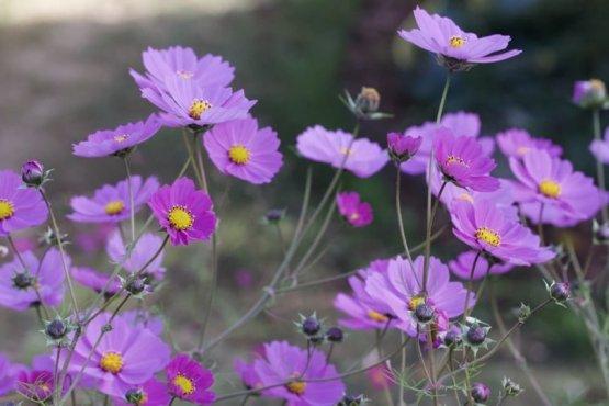 Cosmos avant la récolte de graines, automne 2018