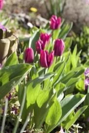 Tulipes de printemps