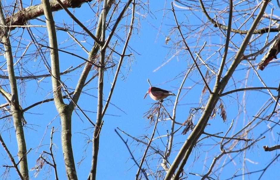 We saw a fairly uncommon purple finch.