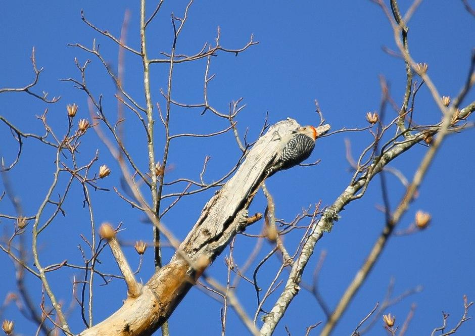 A downy woodpecker?