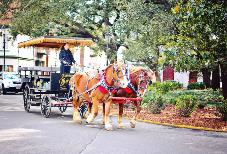 Beautiful horses pull these wagons everywhere! We didn't get to ride this weekend but we will someday!