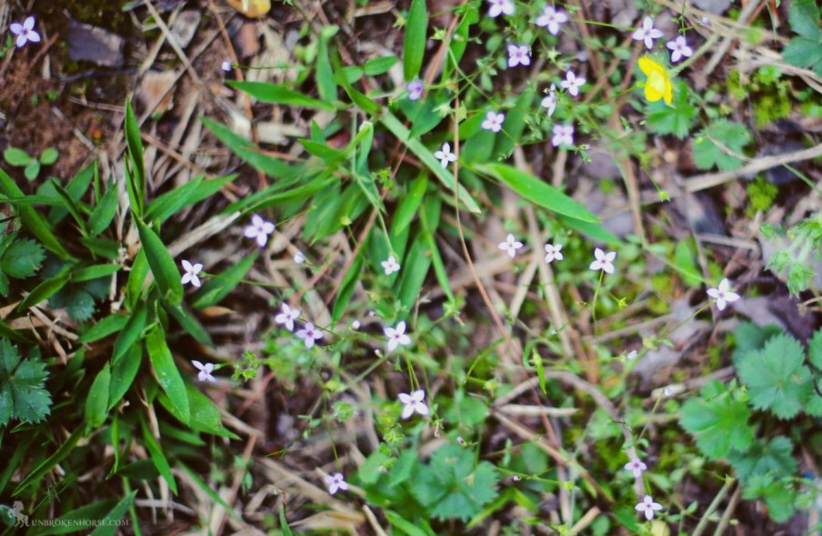 My favorite little spring flowers. They're tiny and barely noticeable when you're not looking for them.