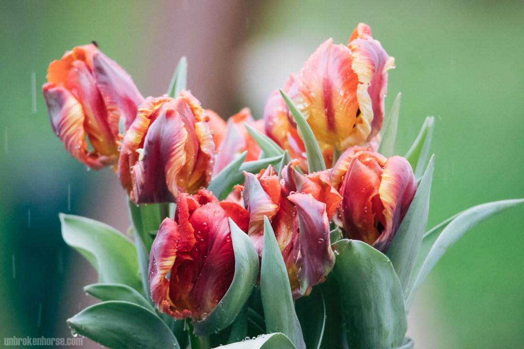 Red, Orange and Purple Tulips in the Rain