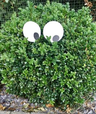 ghost-bushes