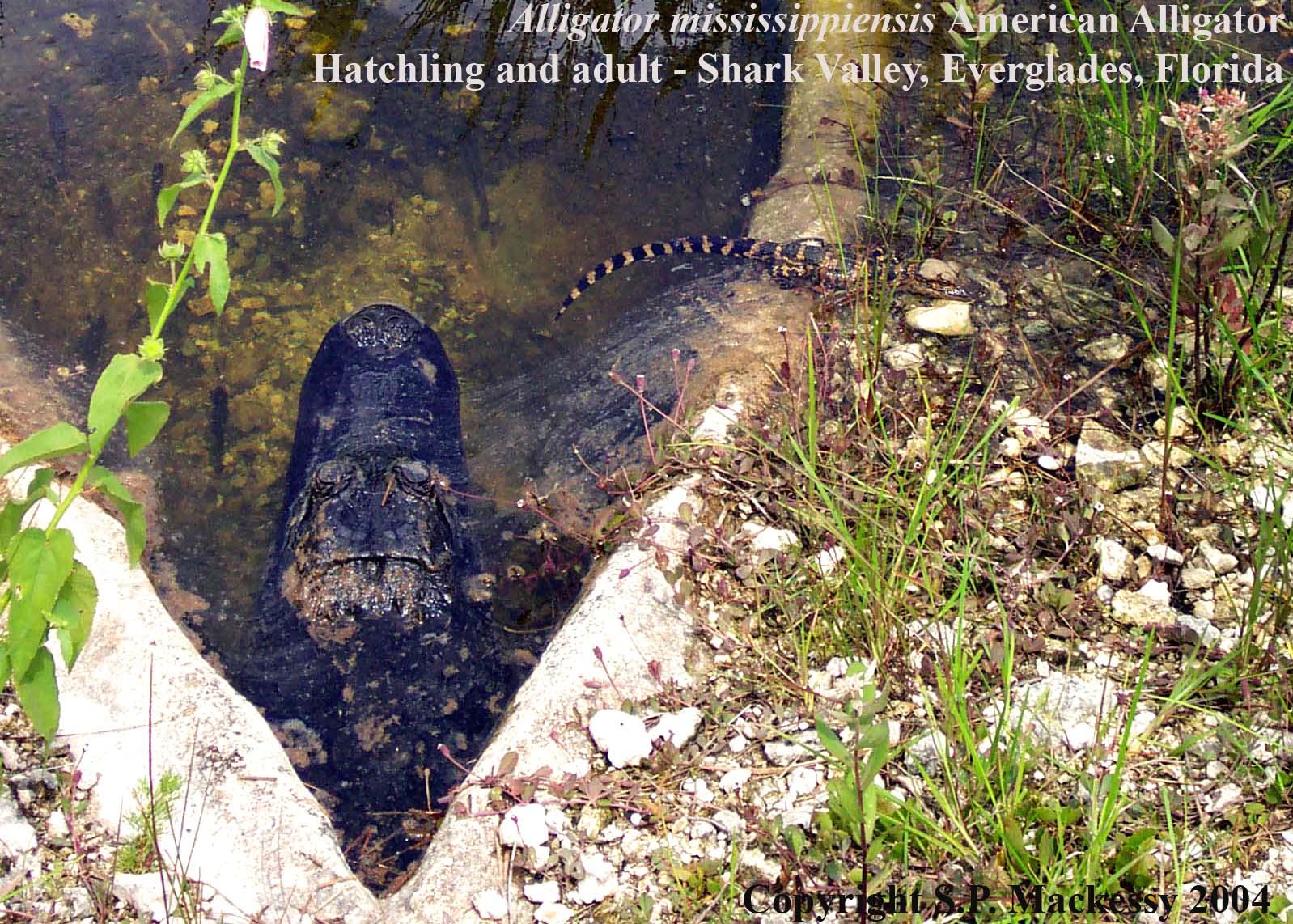 Crocodilians