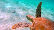 Saturday Video Snorkeling With Turtles In Trippy