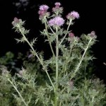 Weeding the Spiritual Garden - Canadian Thistle