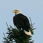 Uncompromising Faith - Flying as Eagles - Bald Eagle in Tree