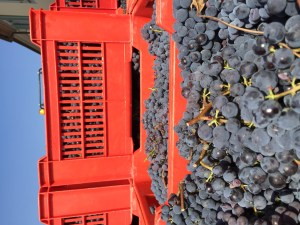 Harvested nebbiolo-10 kg crates here