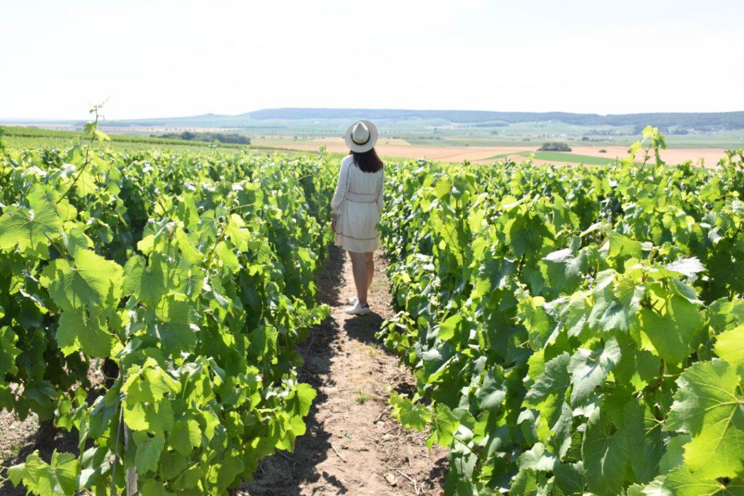 Les vignes de champagne à Reims