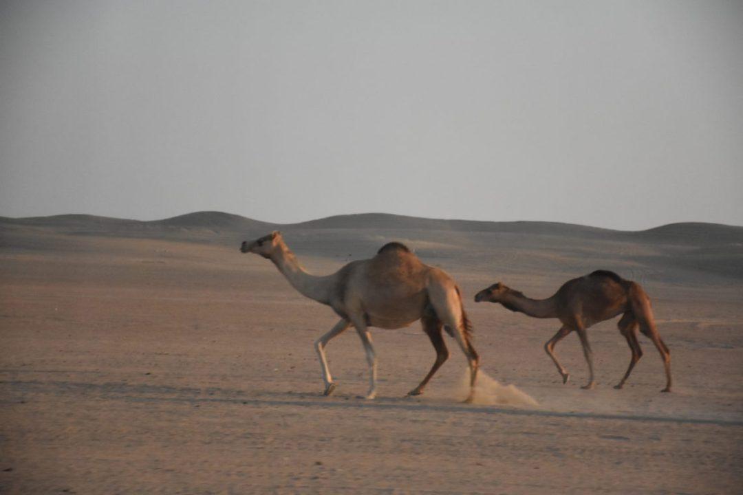 Chameaux dans le désert de dubai