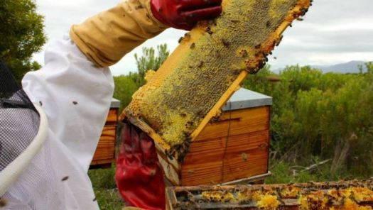 Harvesting honey