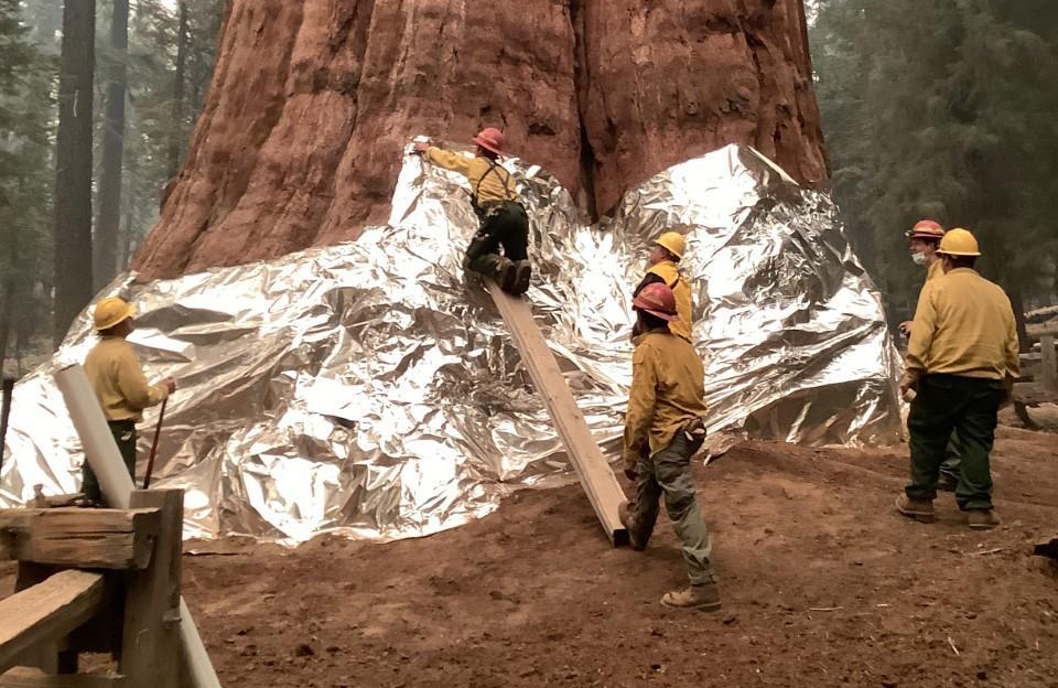 Firefighters Wrap Worlds Largest Tree In Tin Foil.