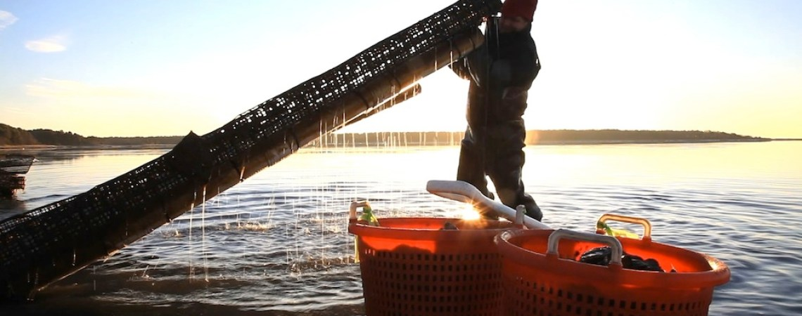 Kris Clark, farm manager of First Light Oysters, removes muck from a tray used to grow oysters in Popponessett Bay, Mashpee, MA.