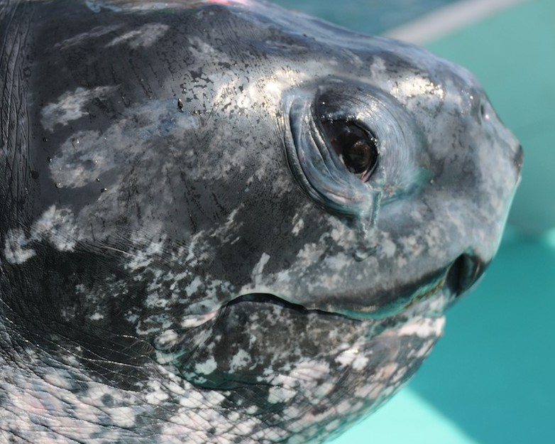 Crowdsourcing Science: WHOI's TurtleCam