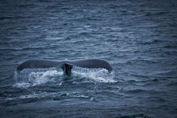 Queue de baleine rappelant celle de Moby Dick prise par Madhu Madhavan
