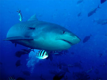 Tiger Shark - photographed by underwater australasia member Iwona Krekora