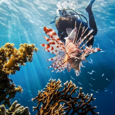 lion fish underwater