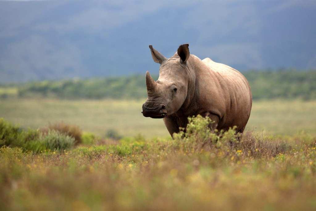 South Africa's Rhino © | Jonathan Pledge/Shutterstock