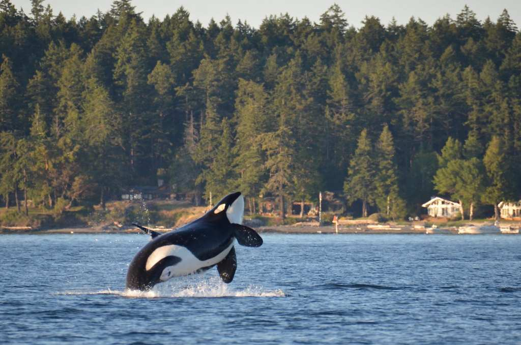 An endangered Southern Resident Killer Whale in the San Juan Islands | © Monika Wieland Shields/Shutterstock