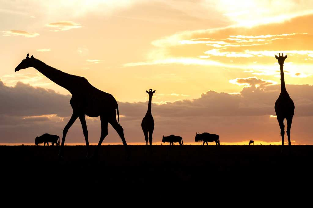 Silhouettes of giraffes in the Serengeti in Tanzania | © Photo courtesy of Julia Cumes