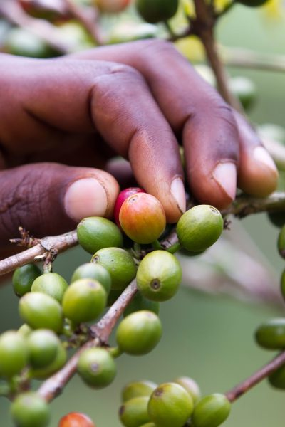 A female coffee farmer in Kenya examines a coffee plant | © franco lucato/Shutterstock