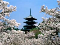 Cherry_Blossoms_Ninna-Ji_Temple_Grounds_Kyoto_Japan