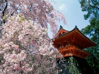 Cherry_Blossoms_Ninnaji_Temple_Kyoto_Japan