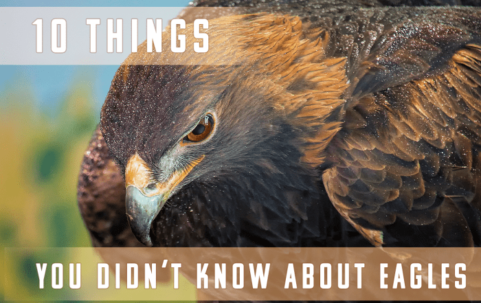 10 Things You Did Not Know About Eagles