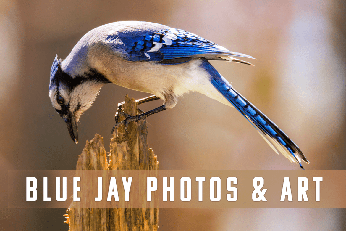 Blue Jays - Bird Photography