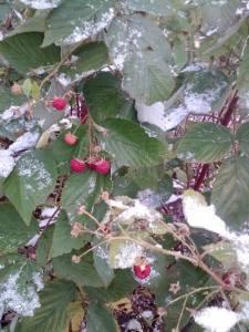 Raspberries in November in North Dakota.