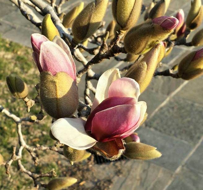 March 8: The magnolia bloom, Rawlins Park, downtown Washington, D.C.