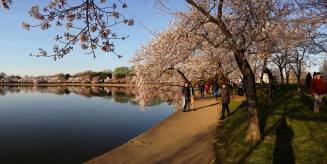 Panoramic view of the cherry blossoms.