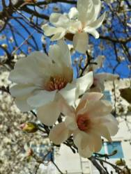 March 9: The white magnolia bloom, American Red Cross headquarters, downtown Washington, D.C.