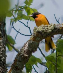 Before checking on the loon nest I took a hike to the Turtle River that runs from Lake Beltrami into and then out of Fox Lake. I stopped at the bridge to take a few shots. An oriole sang to me.