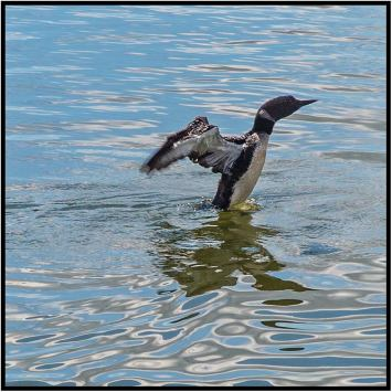 August 17: Minnesota's state bird, the loon, photographed yesterday from the deck of the Chester Charles II on Lake Itasca. Highly recommend this cruise — great narration about the passing scene and sights like this you seldom see closeup from the shore.