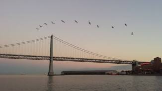 Pelicans flying with East Bay Bridge in the background.