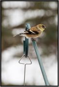 December 31: Among my resolutions for 2017 is to do more bird watching and to learn more about these wonderful creatures. This one stopped at our feeder today. Not absolutely certain about its species. Bob Seabloom, what am I looking at here?