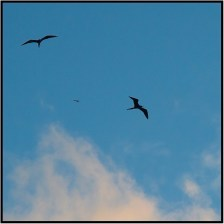 December 4: The most incredible creature I saw during our recent trip to the island of Dominica was the frigate bird. I photographed three of them one day, soaring overhead as we returned from a scuba and snorkeling expedition. Frigate birds often fly for two months without setting foot on land, seldom flapping their wings and allowing the air currents to do the work of lifting them as they fly. They feed by plucking small fish from the ocean . But since for all practical purposes they can't swim, the birds never set down in the water. Isn't nature amazing?