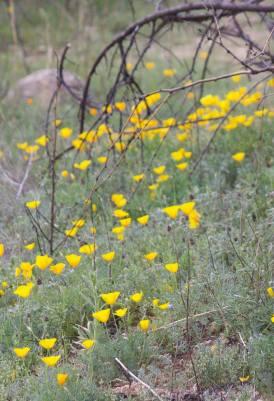 Arizona wildflowers.
