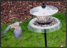 "May 2: A mourning dove departs one of our feeders yesterday in a light rain in Bloomington, Minn. Most of the time, this bird feeds on the ground (if our squirrels permit). According to ""Birds of Minnesota"" by Stan Tekiela, the mourning dove is one of the few birds to drink without lifting its head. In a mild winter, it remains in the state, otherwise migrates. I especially like the whistling sound the wind makes as it rushes through the dove's wing feathers during flight."