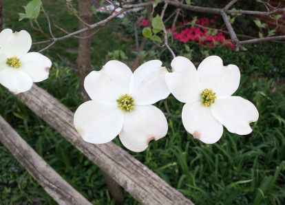 April 13: Dogwood's are in bloom.