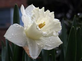 March 31: Nice rain today. The daffodils seem to like it.