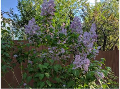 Common lilacs.