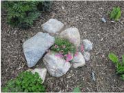 Phlox in my front yard rock garden.