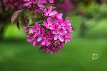 These are called Red Baron crabapple blossoms.
